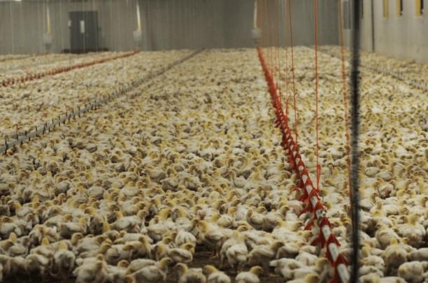 20200316 - pandemik-poultry-farm